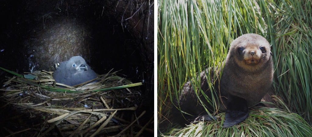 A grey petrel chick on nest and right, an Antarctic fur seal pub. Photos: Marcus Salton and Andrew Turbett