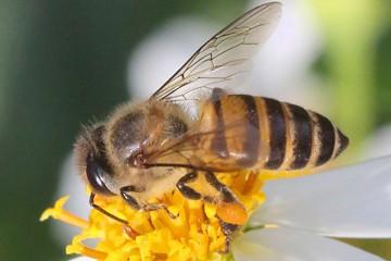 Asian honeybee