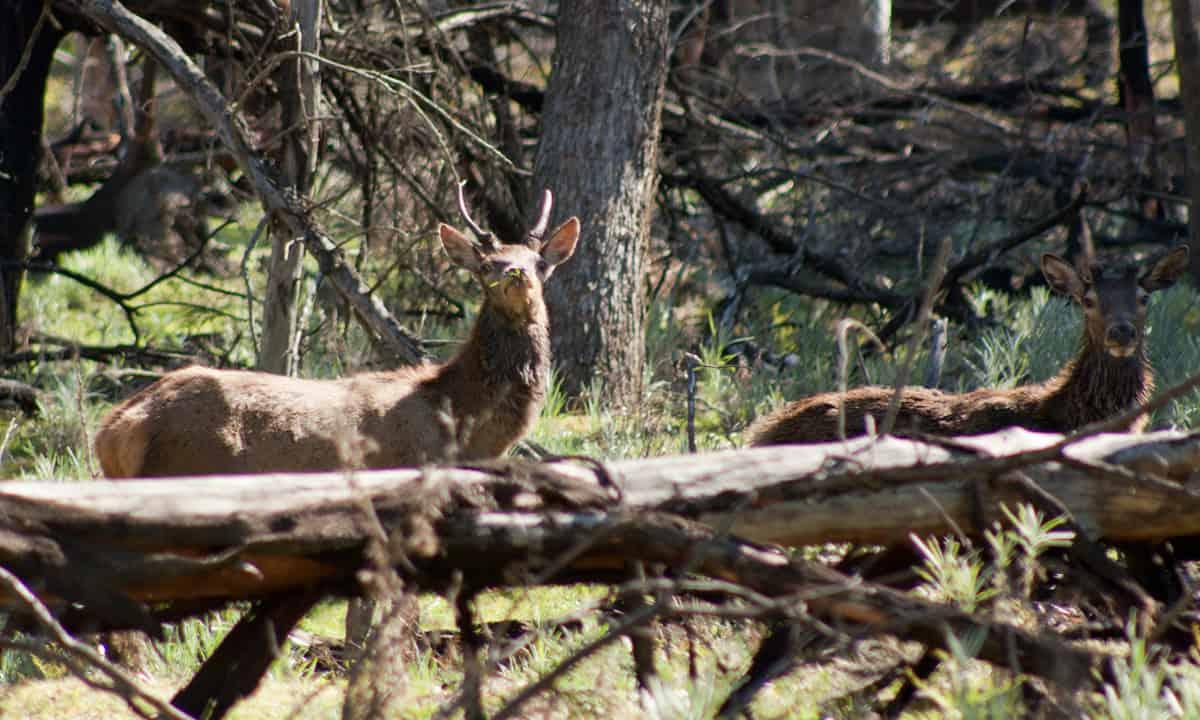 Red deer grazing, Moora Track, Grampians National Park, Victoria Australia.