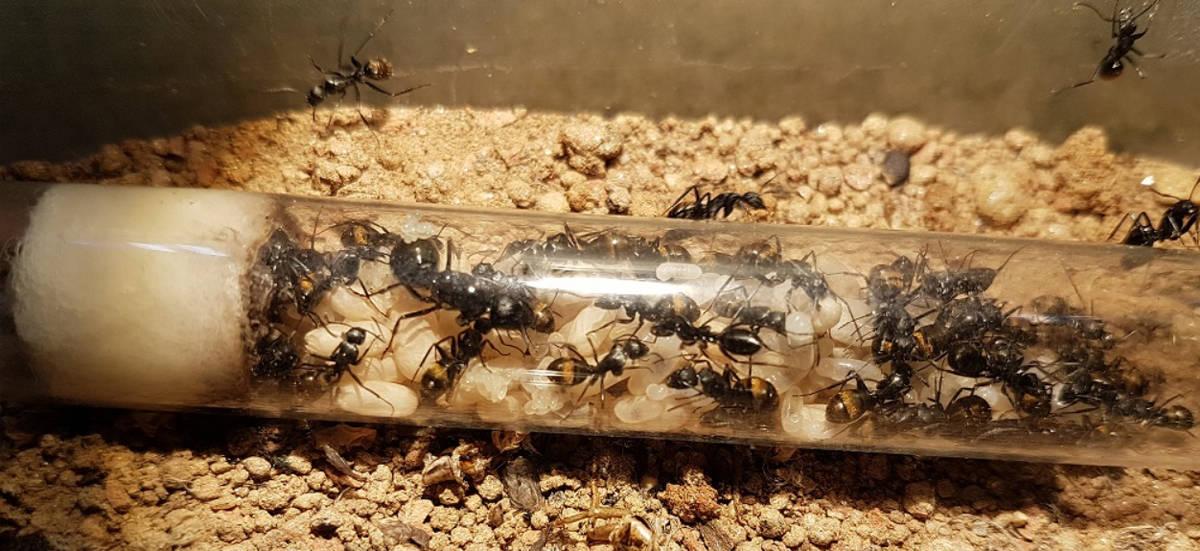 Pet ants for sale overseas.