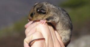 Mountain pygmy-possum-Photo Australian Alps collection - Parks Australia