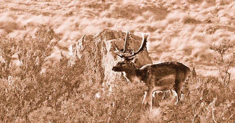 Feral deer on private conservatoin land Tasmania