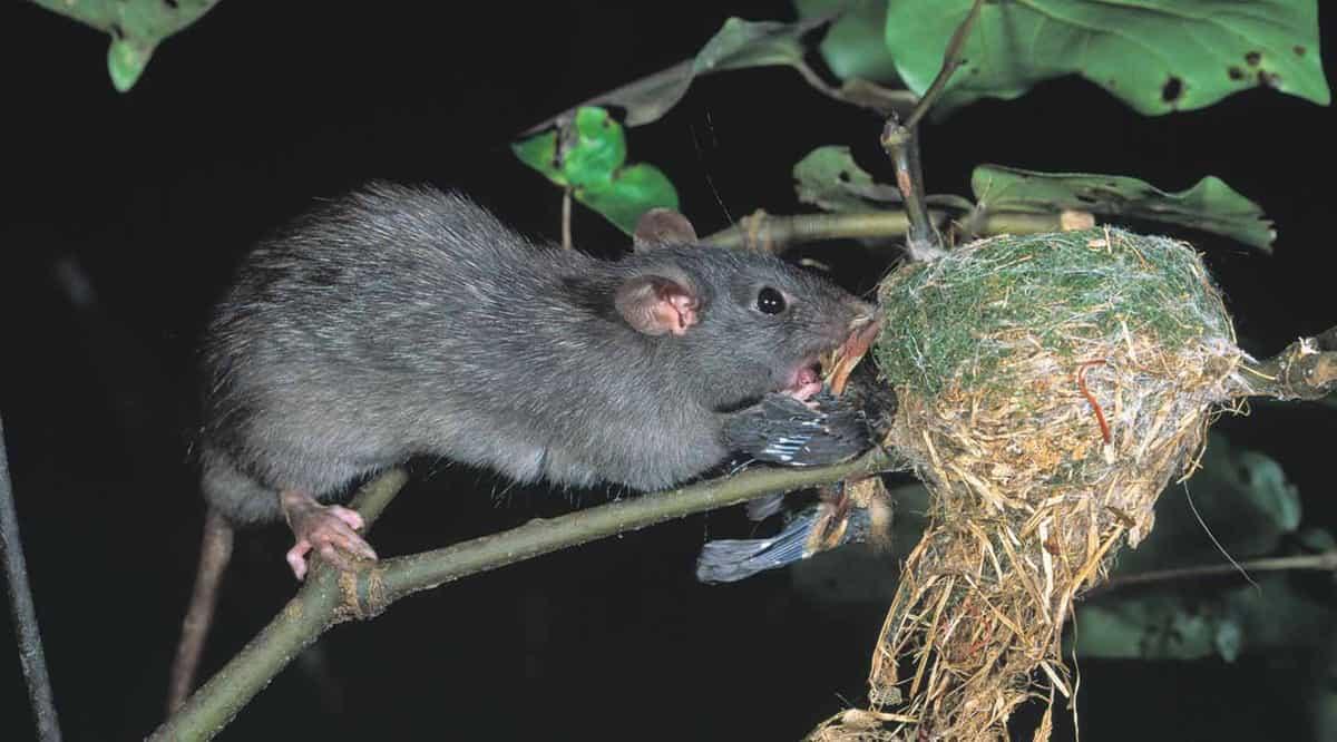 Black rat-copyright Nga Manu Images