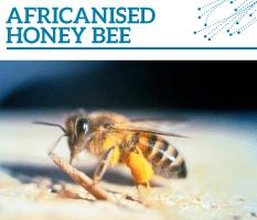Bt-Africanised-honey-bee-233x200