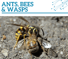 Bt-Ants-bees-wasps