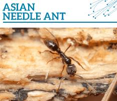 Bt-Asian-needle-ant