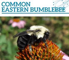 Bt-Common-eastern-bumblebee