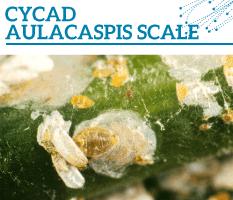 Bt-Cycad-aulacaspis-scale