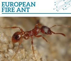 Bt-European-fire-ant