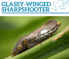 Bt-Glassy-winged-sharpshooter