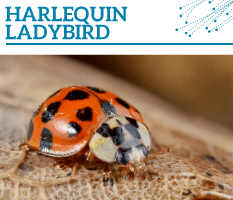 Bt-Harlequin-ladybird