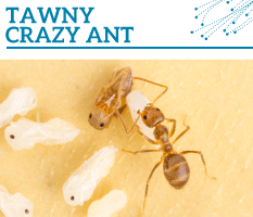 Bt-Tawny-crazy-ant