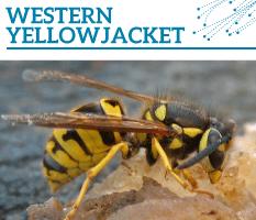 Bt-Western-yellowjacket